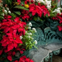 poinsettia, events, florida museum, flowers, bench, scenery