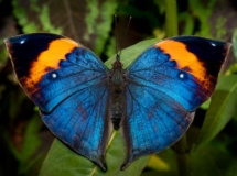 indianleafwing